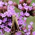 写真: 柳花笠と蝶