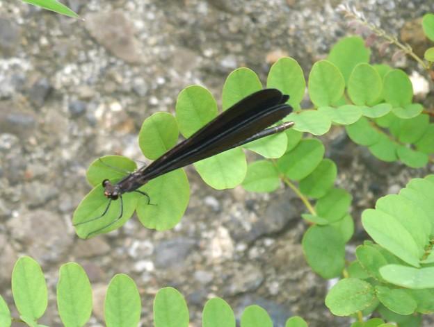 写真: ハグロ蜻蛉