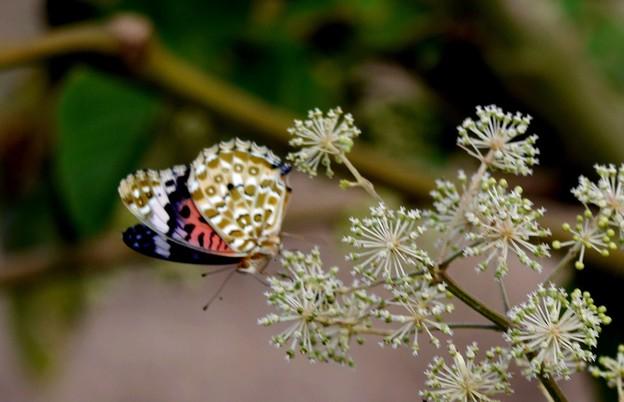 ツマグロヒョウモン蝶