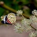 写真: ツマグロヒョウモン蝶