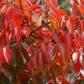 写真: 柿の紅葉