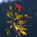 写真: 頑張ってる薔薇
