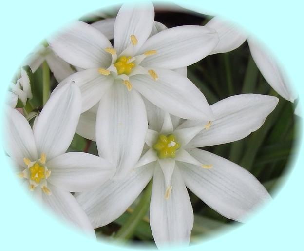 大甘菜の花