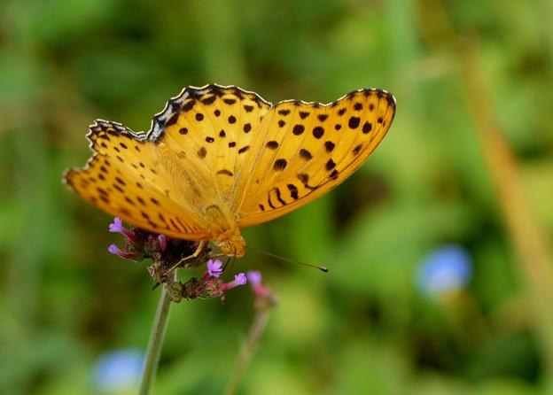 褄黒豹紋蝶