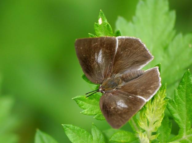 ウラギンシジミ蝶