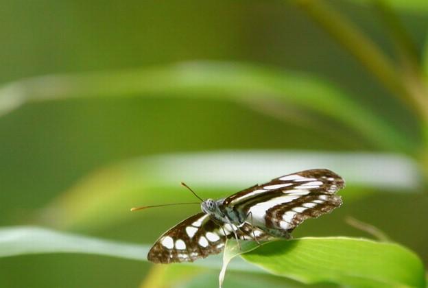 コミスジ蝶