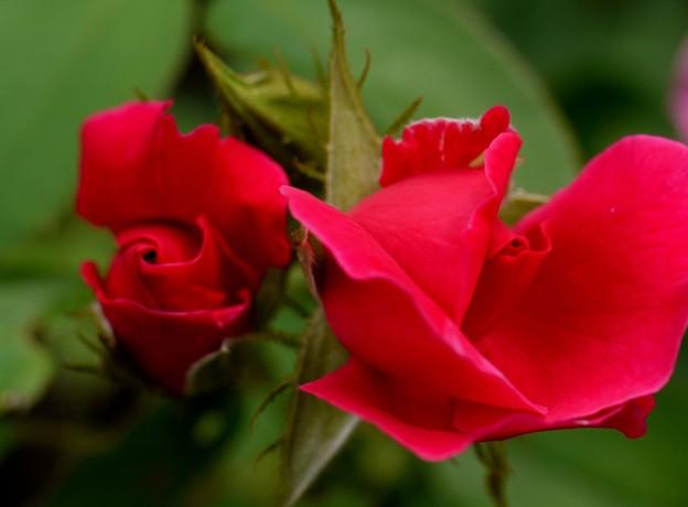 薔薇 開花前