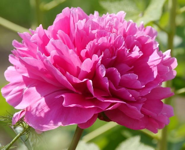 芍薬ピンク