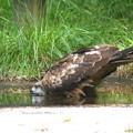 水飲む鳶幼鳥