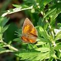 Photos: ウラギンシジミ蝶