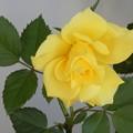 Photos: 黄色のバラ