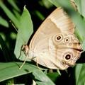 Photos: 蛇の目蝶