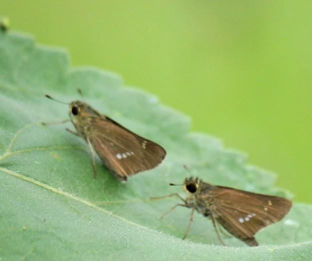仲良しセセリ蝶