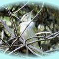 初めて見た鳥(ムシクイ)