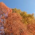 メタセコイヤの紅葉