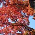 Photos: 古木の紅葉