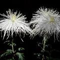 純白の糸菊