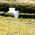 ダイサギの飛翔