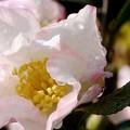 山茶花と雫