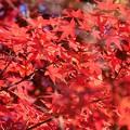 Photos: 真っ赤な紅葉