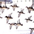 コガモの飛翔