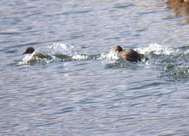 Photos: 湖面を走るカイツブリ