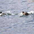 湖面を走るカイツブリ