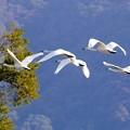 小白鳥の飛翔