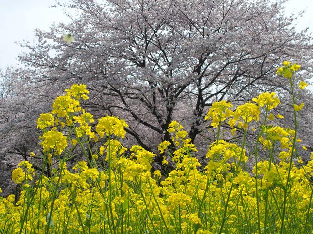 春の巾着田