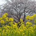 Photos: 春の巾着田