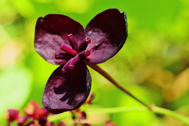 写真: ミツバアケビ 雌花
