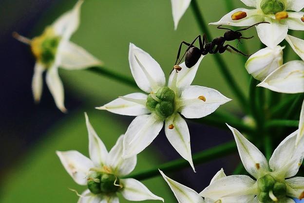 アサツキの花