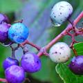 写真: 山の宝石 野ブドウ