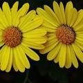 写真: 庭の菊