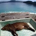 写真: リュウキュウイノシシさんが乗船していましたです^^