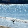 Photos: クロサギさんと海のキラキラなのです^^