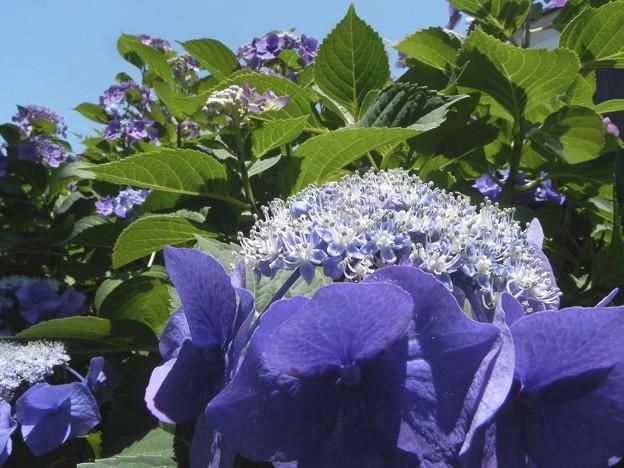 DSCN5133紫陽花