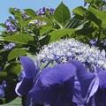 写真: DSCN5133紫陽花