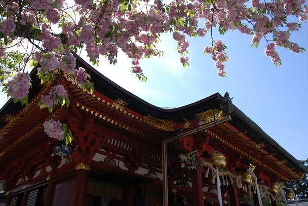 Photos: 鹽竈神社拝殿と満開の鹽竈桜