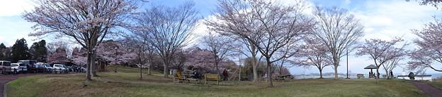 多聞山の桜
