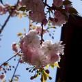 天然記念物 鹽竈桜