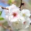 Photos: 春の川越-5