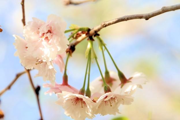 春の川越-6