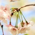 Photos: 春の川越-6