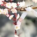 Photos: 春を占う