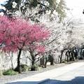 Photos: 梅の道
