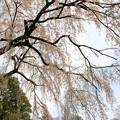 枝垂れ桜-1