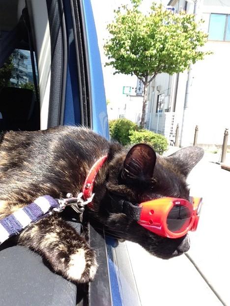 ゴーグルをする猫