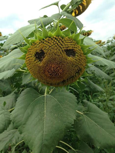 向日葵の顔