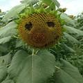 Photos: 向日葵の顔